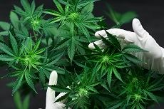Hands holding marijuana leaves
